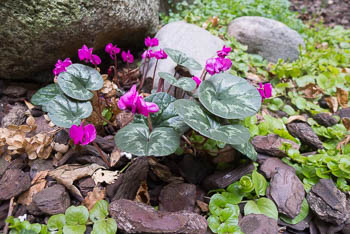 29_Cyclamen_hederifolium-2.jpg