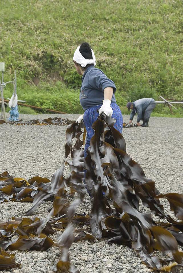 Die meterlangen Algen werden auf dem Kiesbett zum Trocknen ausgelegt.